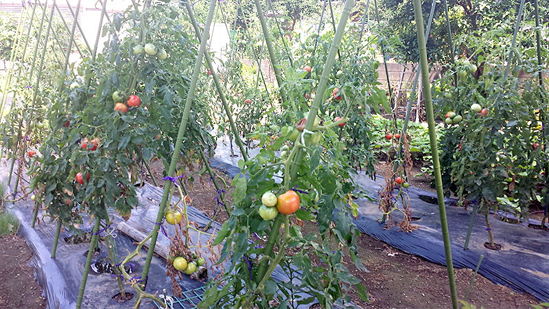 茅ヶ崎のトマト畑