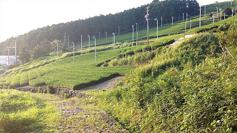 夕日を浴びる茶畑