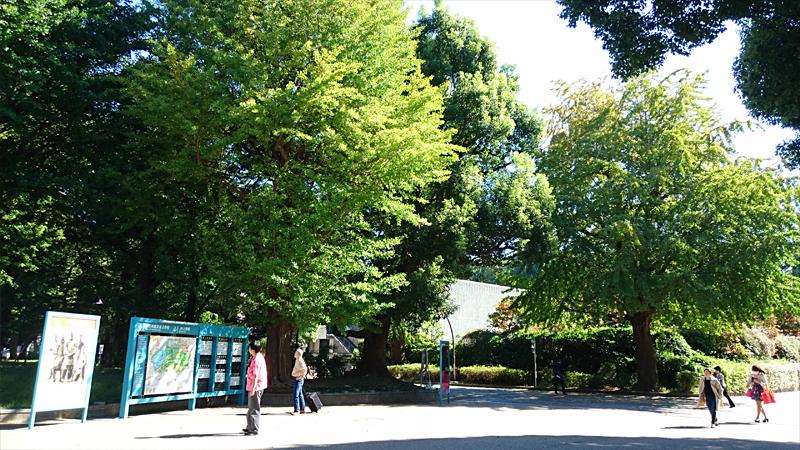 上野公園の銀杏の木
