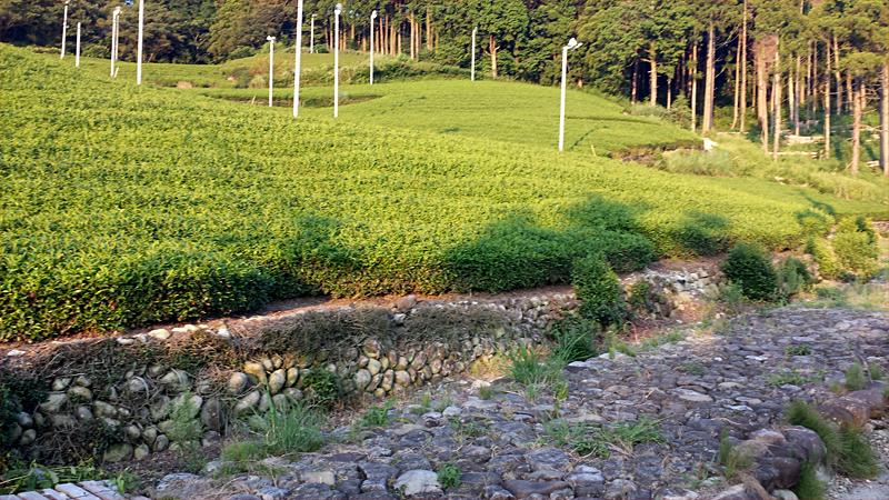 日坂の茶畑