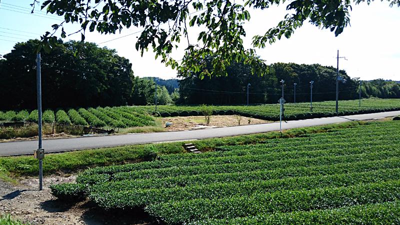土山の茶畑