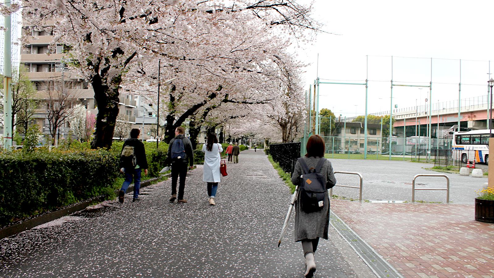 隅田川沿いの桜のトンネル