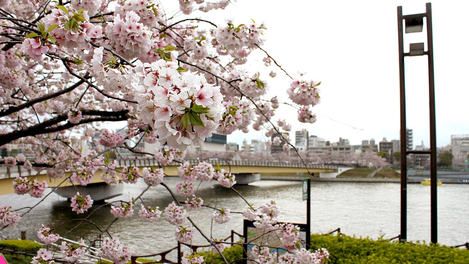桜橋と満開の桜