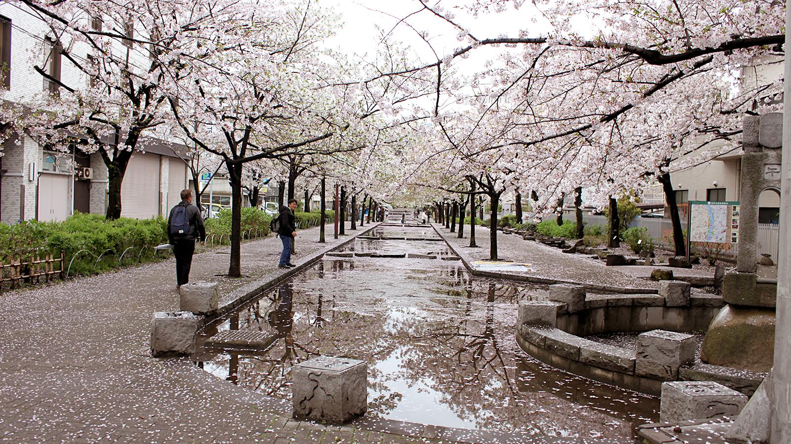 山谷堀の満開の桜