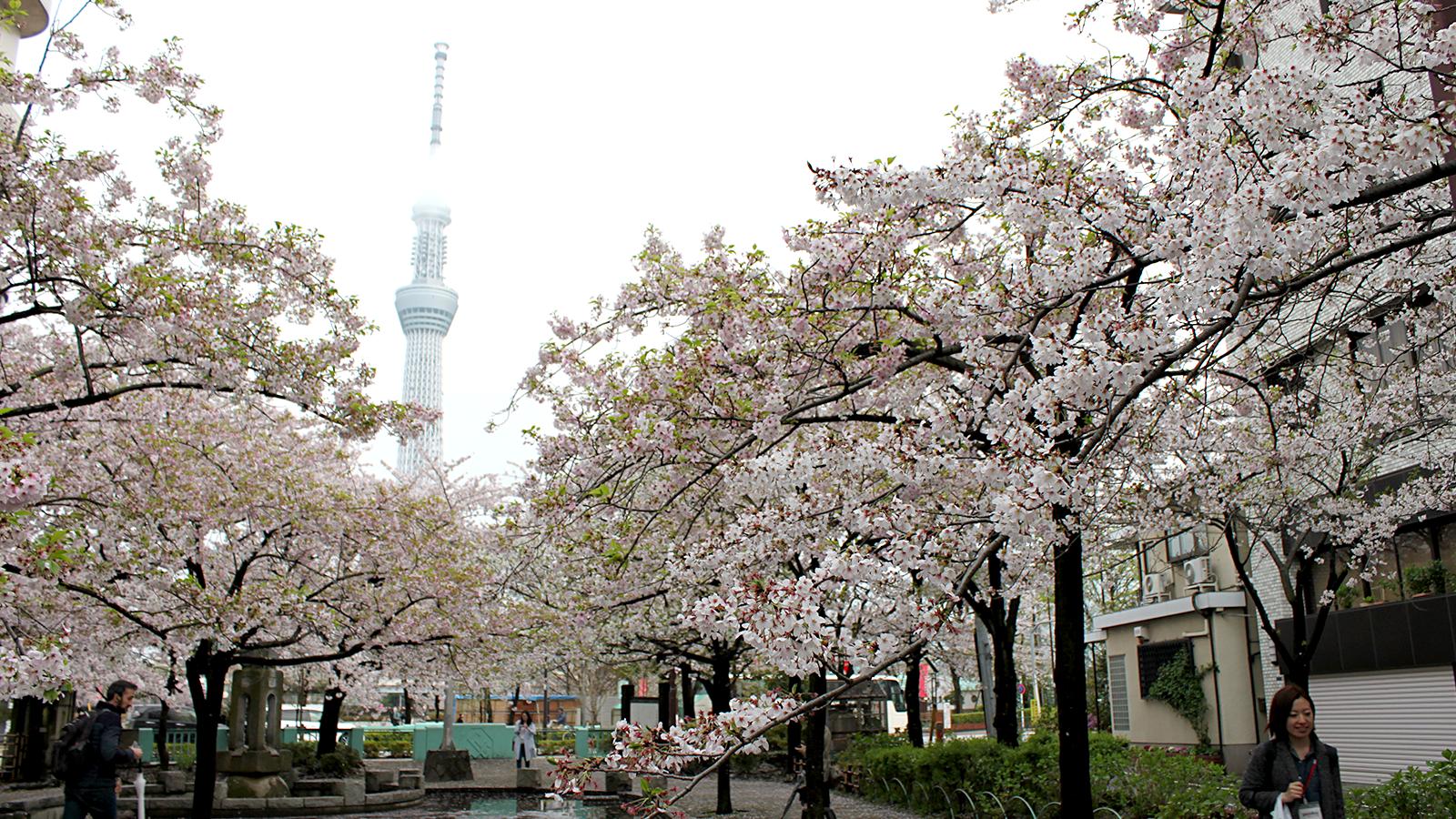 山谷堀の満開の桜と東京スカイツリー
